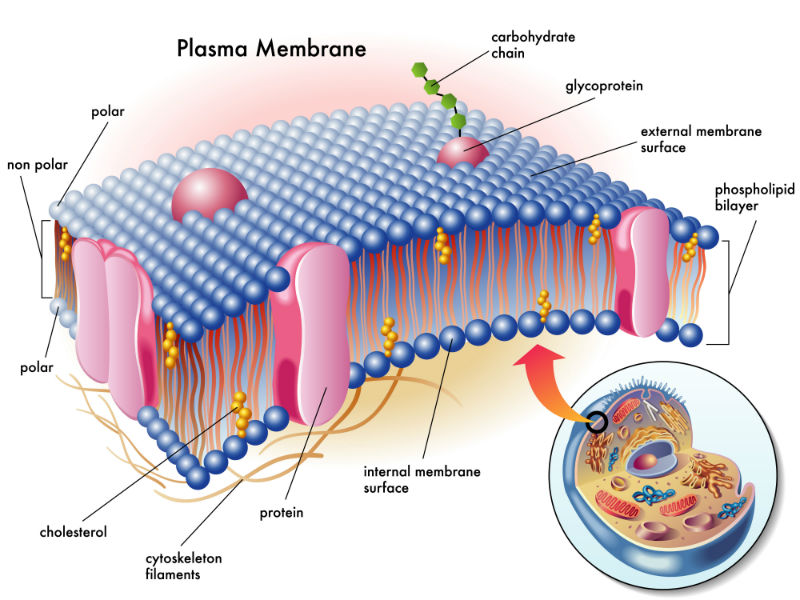 plasma membrane 2 800-600.jpg